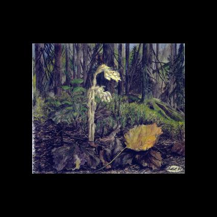 Tallört - ett ljushyllt väsen i skogens dunkel