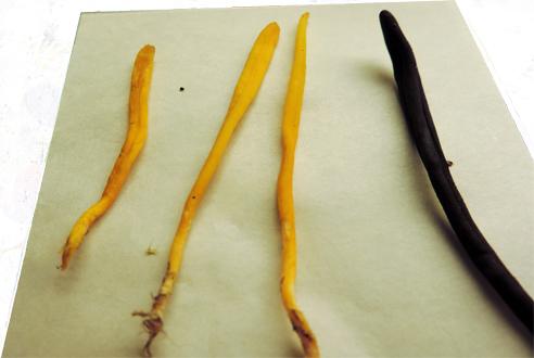 Fingersvampar och jordtungor