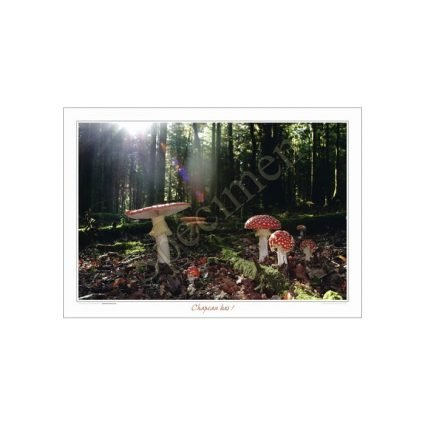 Röd flugsvamp, Amanita muscaria