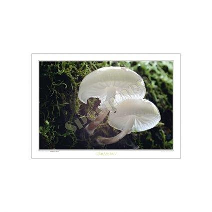 Porslinsskivling, Oudemensiella mucida