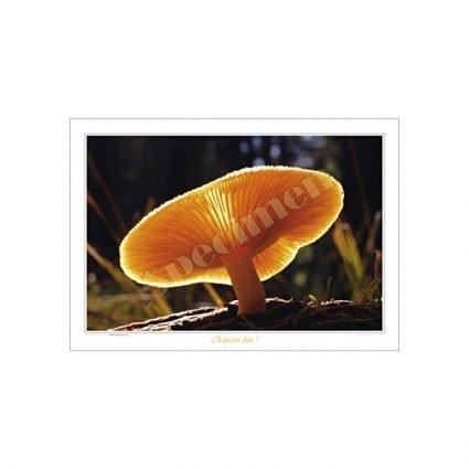 Stubbmusseron, Tricholomopsis decora