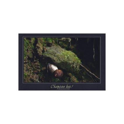 Stensopp (karljohan), Boletus edulis, vykort