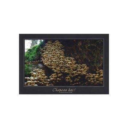 Svavelgul slöjskivling, Hypholoma fasciculare, vykort