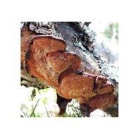 Lysticka, Hapalopilus rutilans